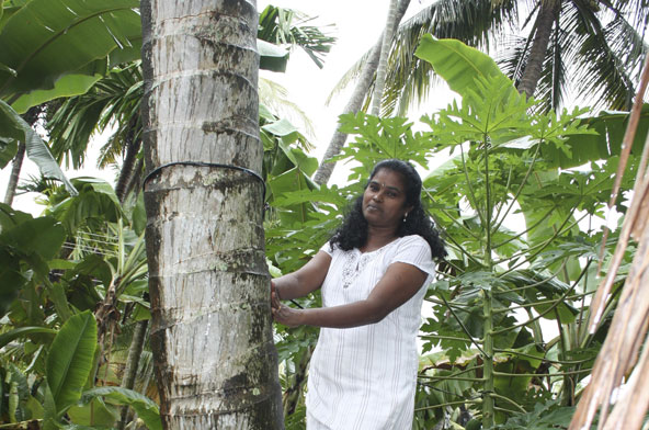 Climbs Coconut Trees For A Living